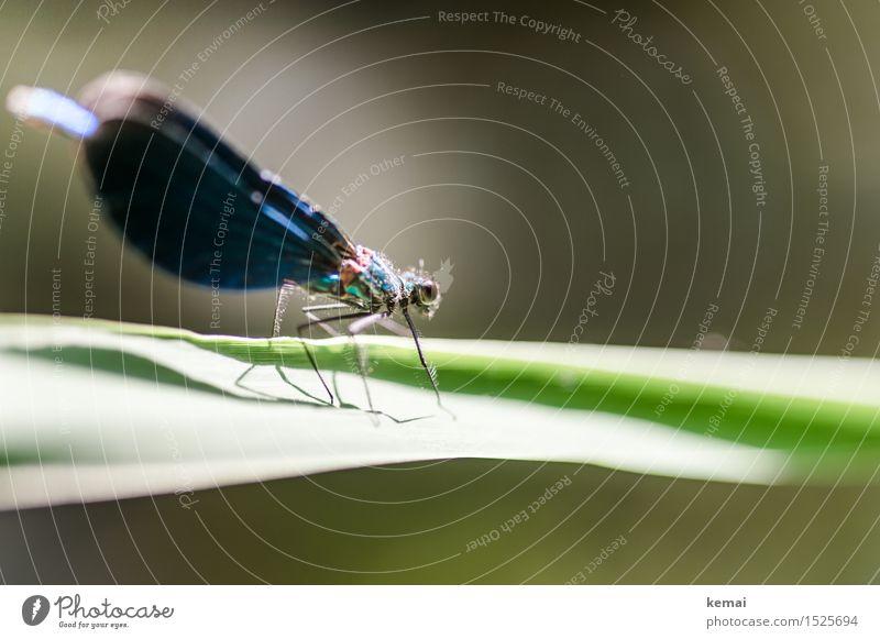 Spreedorado | Libelle Natur Pflanze blau grün schön Sommer Erholung Blatt ruhig Tier glänzend Wildtier sitzen ästhetisch Flügel Schönes Wetter