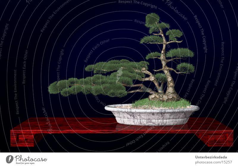 Bonzai Japan Baum