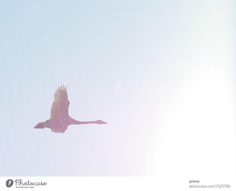 Singschwan Umwelt Natur Tier Himmel Wolkenloser Himmel Sonne Winter Schönes Wetter Wildtier Schwan Flügel 1 schön blau fliegen fliegend singschwan Farbfoto