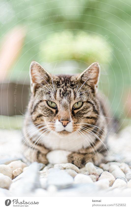 Spreedorado | Star(r)ing Kater Garten Kieselsteine Tier Haustier Katze Tiergesicht Fell Pfote 1 beobachten Erholung liegen Blick Coolness groß schön