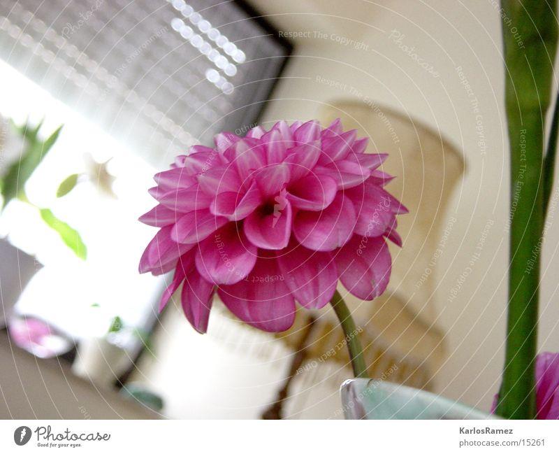 First Flow Blume