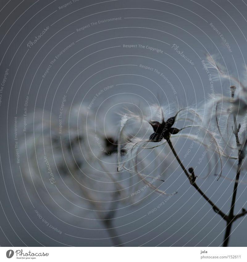 feathery clematis II blau Pflanze Winter grau Park Wein Feder zart leicht Samen verblüht Quaste Fruchtstand