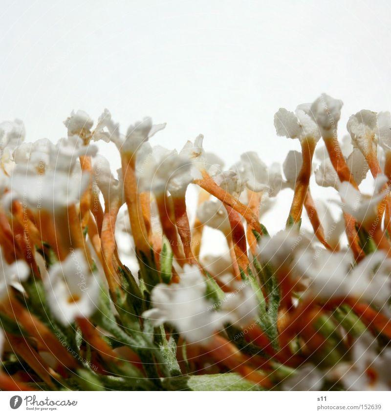 Weisse Grüsse Fliederbusch Blume Blüte weiß stehen Pflanze Natur Sommer Freude Duft Makroaufnahme Nahaufnahme mehrere Blumenstrauß