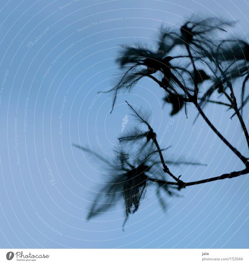 feathery clematis III blau Pflanze Winter grau Park Wein Feder zart leicht Samen verblüht Quaste Fruchtstand