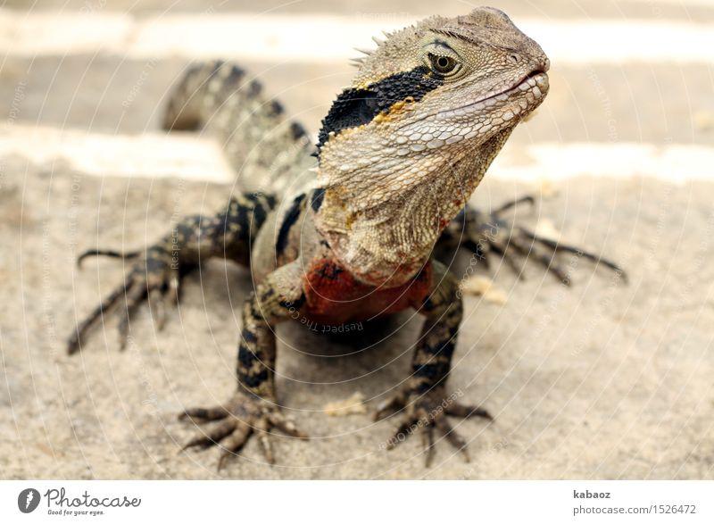 """Lizzard Ferien & Urlaub & Reisen Ausflug Abenteuer Natur Tier Wildtier Schuppen Krallen """"Lizzard Waterdragon"""" 1 exotisch Neugier gelb grau schwarz Tierliebe"""