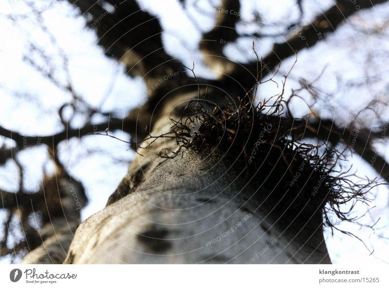 Mistelzweig Baum Schwache Tiefenschärfe Dresden Park