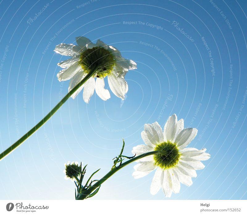 Lust auf Frühling?? Natur Himmel weiß Blume blau Sommer Blüte Wassertropfen Vergänglichkeit Stengel Tau Blütenknospen Kamille Heilpflanzen