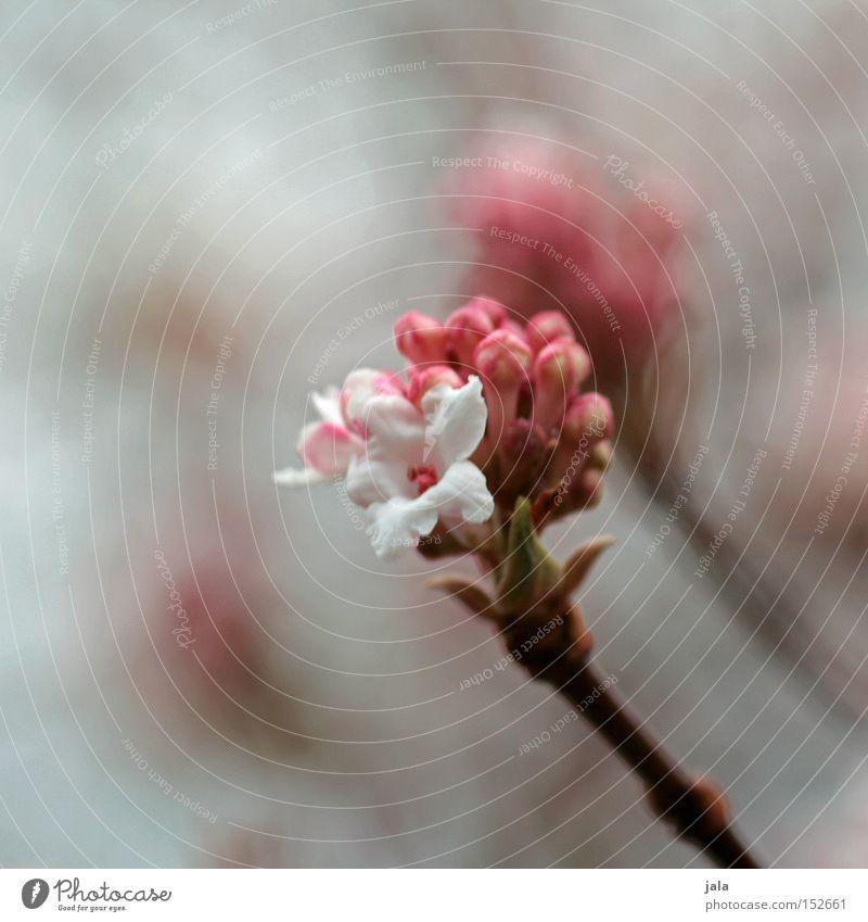 als ob der frühling käme II Natur schön weiß Blume Pflanze Winter Frühling Park rosa ästhetisch weich sanft Floristik