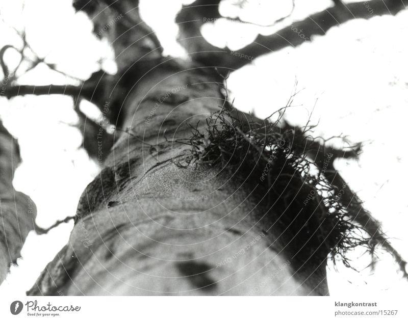 Mistelzweig 2 (sw) Schwache Tiefenschärfe alter Baum Schwarzweißfoto
