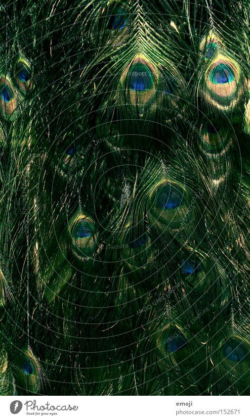 Augen grün Tier Haare & Frisuren Vogel glänzend Feder Pfau schillernd Fasanenartiger