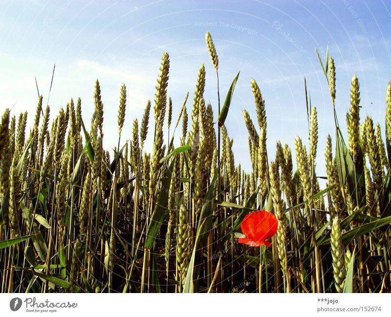 saisonale verschiebung. Feld Getreide Weizen Mohn Sommer Blume Landwirtschaft Ernte Natur Kontrast Korn Ähren Blüte rot einzeln