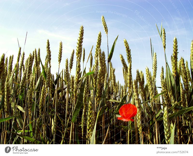 saisonale verschiebung. Natur Blume rot Sommer Blüte Feld Getreide Landwirtschaft Mohn Ernte Korn einzeln Weizen Ähren Stauden