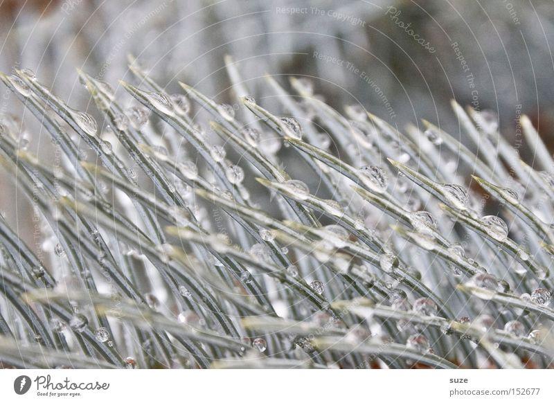 Tannentau schön Winter hell glänzend authentisch nass Spitze Wassertropfen einzigartig gefroren Zweig silber Tau edel Weihnachtsdekoration