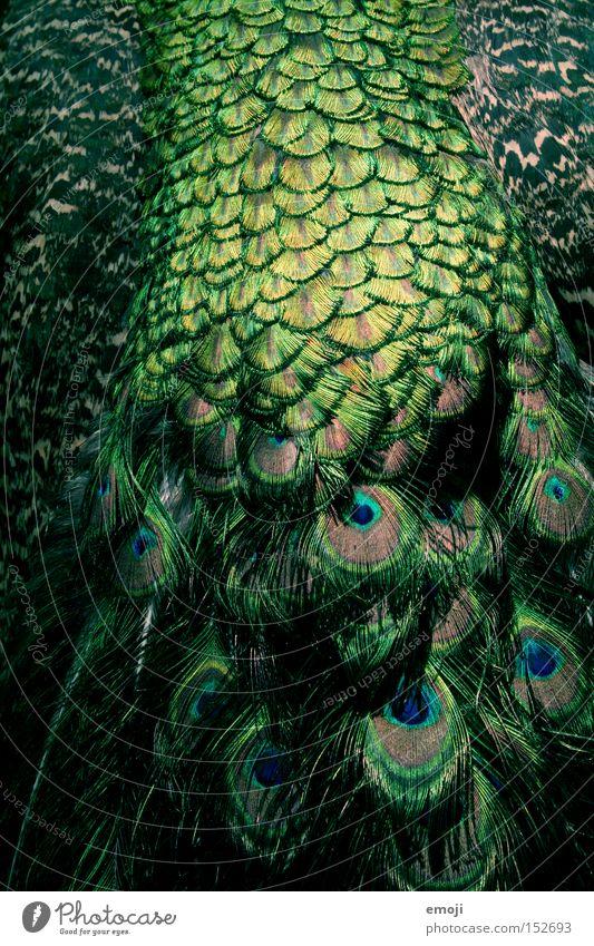 noch 'n Pfau grün Tier Haare & Frisuren Vogel glänzend Feder schillernd Fasanenartiger