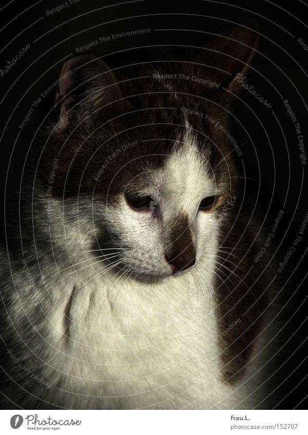 Kater Hauskatze Fell schön Säugetier Paul verträumt Müdigkeit Denken Katze