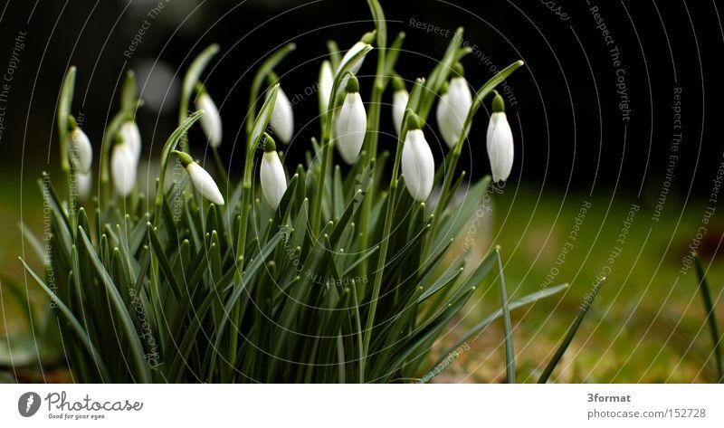 frühaufsteher Schneeglöckchen Blume Frühling Pflanze Garten Blüte aufwachen positiv Optimismus Optimist Zukunft aufstehen Erfolg