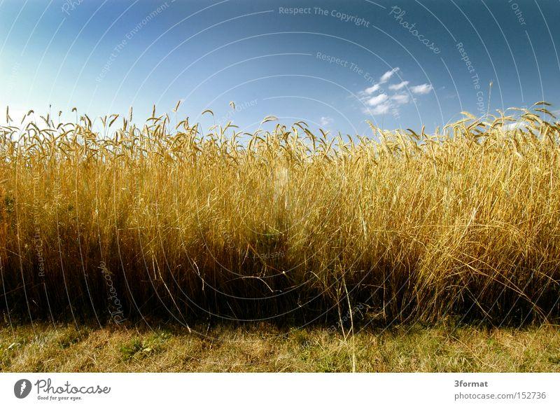 brot Himmel blau Sommer gelb Leben Feld gold Ernährung Getreide Landwirtschaft Ernte Grundbesitz positiv Weizen Qualität Optimismus