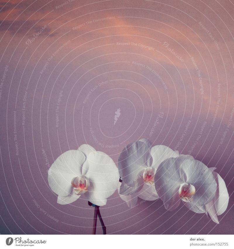 soulmate schön Farbe Orchidee Seelenverwandtschaft rein weiß Himmel young white sky