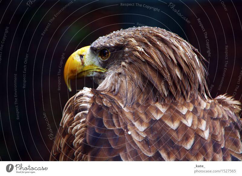 Adler im Regen Tier Wildtier Vogel 1 elegant stark braun gelb Freiheit Perspektive Kraft Wassertropfen Farbfoto Außenaufnahme Nahaufnahme Tag Kontrast