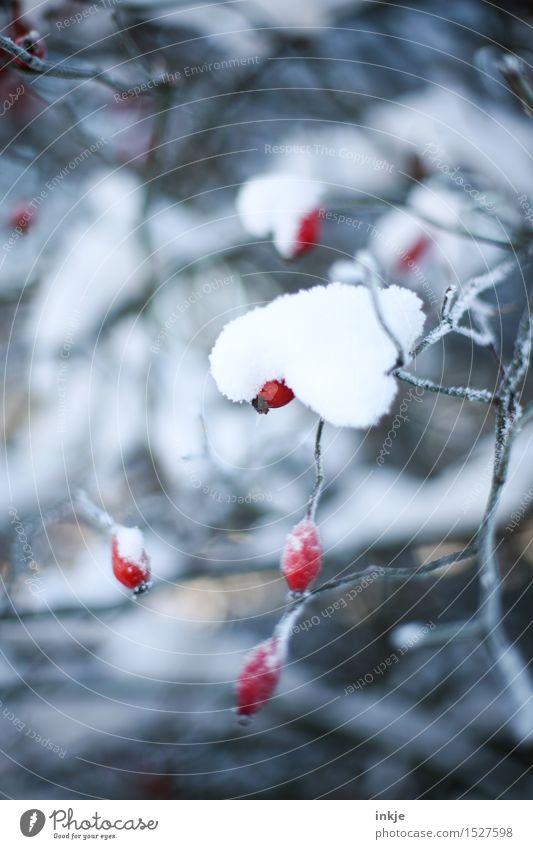 Häubchen Natur Winter Eis Frost Schnee Pflanze Hagebutten Hundsrose Park kalt rot weiß Klima bedeckt schwer belasten Farbfoto Gedeckte Farben Außenaufnahme