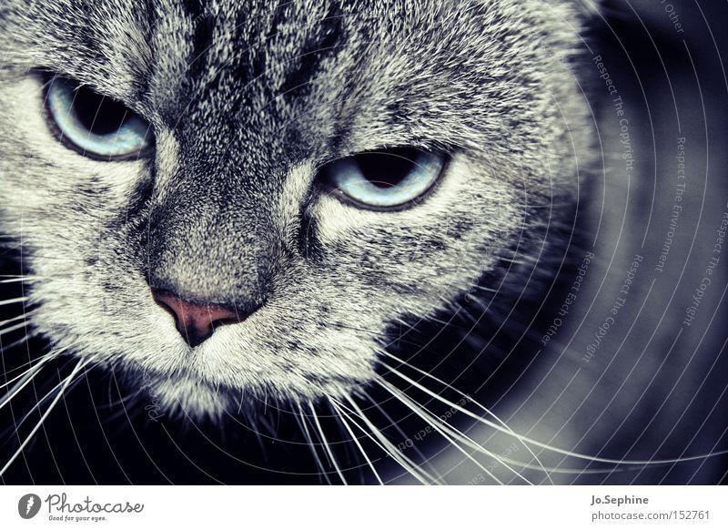Eene - Meene - Miez... Katze Tier Auge grau Kopf Nase weich beobachten bedrohlich Fell Haustier Wachsamkeit sanft Hauskatze Säugetier Schnurrhaar