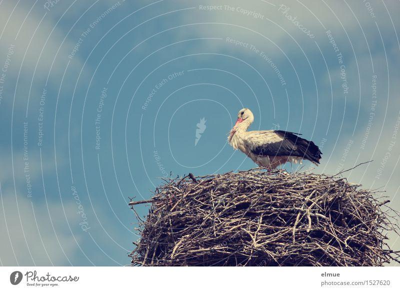 Der die Babies bringt. Himmel Wolken Frühling Schönes Wetter Vogel Weißstorch Klapperstorch Storch Brunft beobachten Blick stehen ästhetisch Bekanntheit