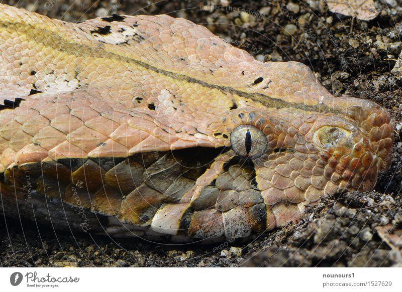 Gabunviper Tier Wildtier Schlange 1 glänzend liegen Aggression bedrohlich exotisch wild braun schwarz Gift gefährlich Angst Schlangenlinie krabbeln lauern