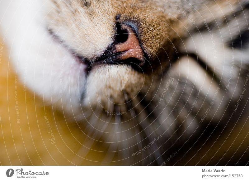 Schlaf, Kindlein, schlaf.... Katze Haustier Nase Mund Schnauze Fell nah Hauskatze Schnurren Schnurrhaar Säugetier Sicherheit Frieden Miezekatze Schmusekater