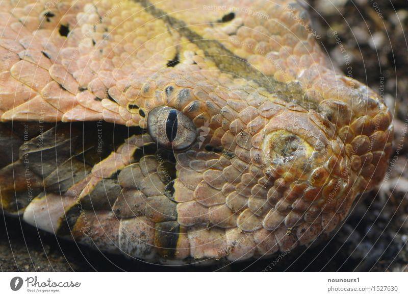 Gabunviper Tier schwarz Auge braun liegen Wildtier bedrohlich Zoo Gift Schlange Schuppen Pupille Giftzähne