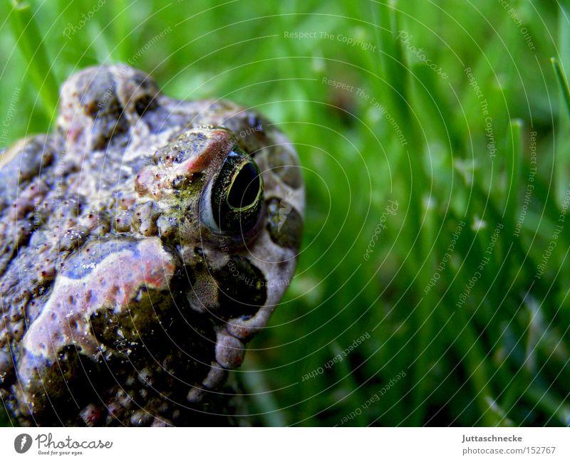 Look forward Sommer Tier Wiese Garten Erfolg Frosch Glätte Froschlurche Kröte Quaken