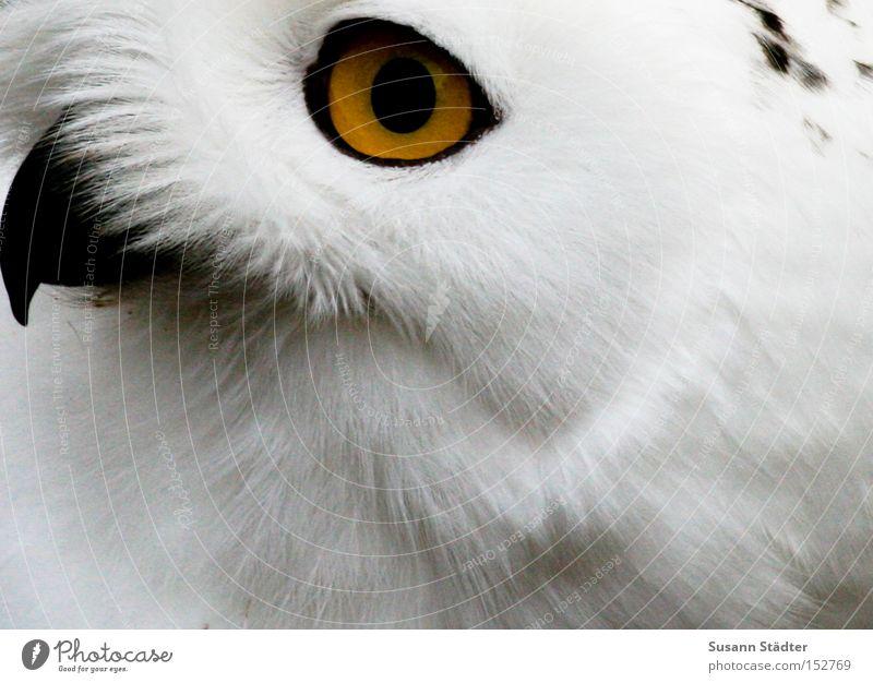 Schneeeulengesicht I weiß Winter schwarz Auge gelb kalt Schnee Vogel Feder Fell Zoo Fleck Schnabel Tier Eulenvögel Greifvogel
