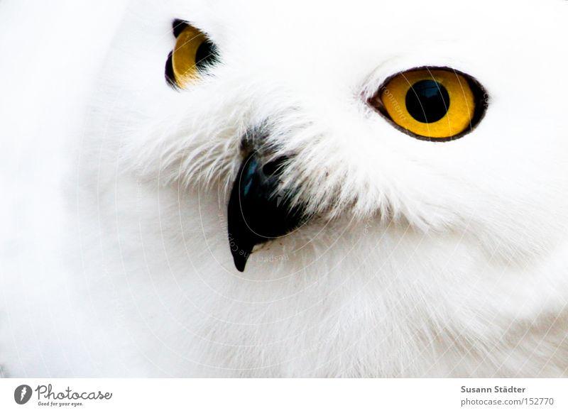 Schneeeulengesicht II weiß Winter schwarz Auge gelb kalt Vogel Feder Fell Zoo Fleck Schnabel Tier Eulenvögel Greifvogel
