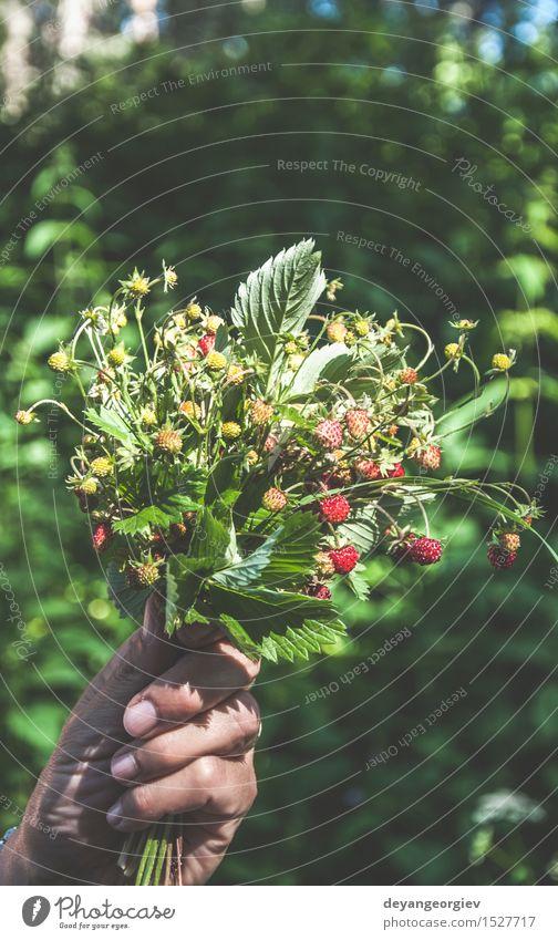 Handgriff wählte Walderdbeeren aus. Frucht Dessert Sommer Natur Pflanze Blatt frisch saftig wild grün rot Erdbeeren Lebensmittel organisch Beeren reif Bauernhof