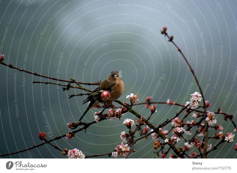 Ich seh' dich! Natur Blume Winter Tier kalt Blüte grau Vogel klein rosa Nebel Flügel Ast trüb Fink Gemeiner Schneeball