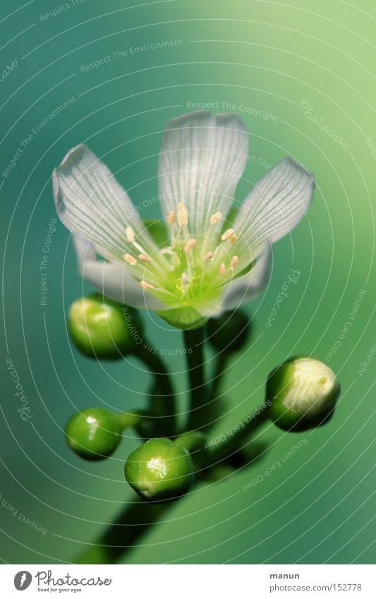 Winterblüte Natur schön weiß grün gelb Farbe kalt Blüte Frühling Blühend Frühlingsfarbe Venusfliegenfalle