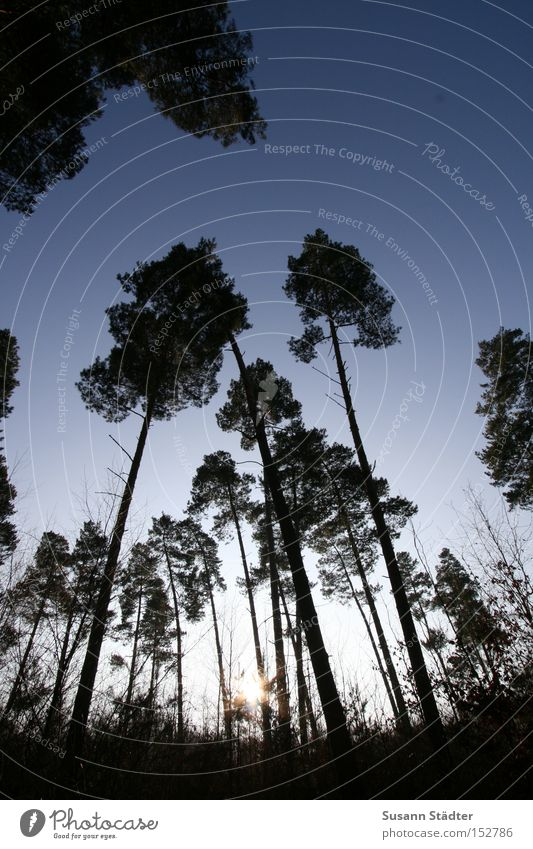 Kein Männlein steht im Walde... Himmel Baum Winter dunkel Holz groß Hochhaus Boden Klarheit Ast Baumstamm Baumkrone Schädlinge Pflanzenschädlinge