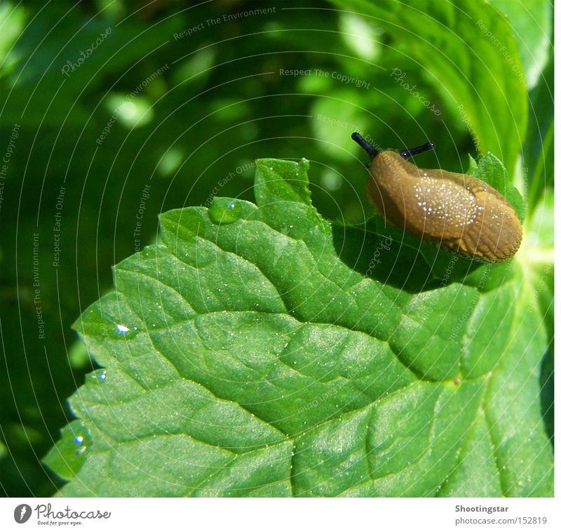 hmmm... köstlich Schnecke Appetit & Hunger Blatt grün Frühling Nacktschnecken schleimig Fühler braun Wassertropfen Maserung Loch