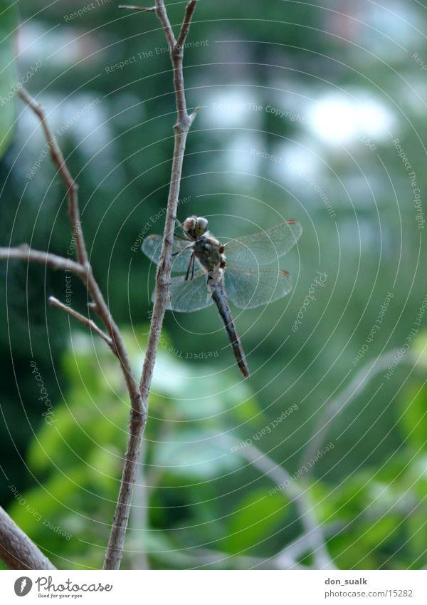 Libelle grün Insekt