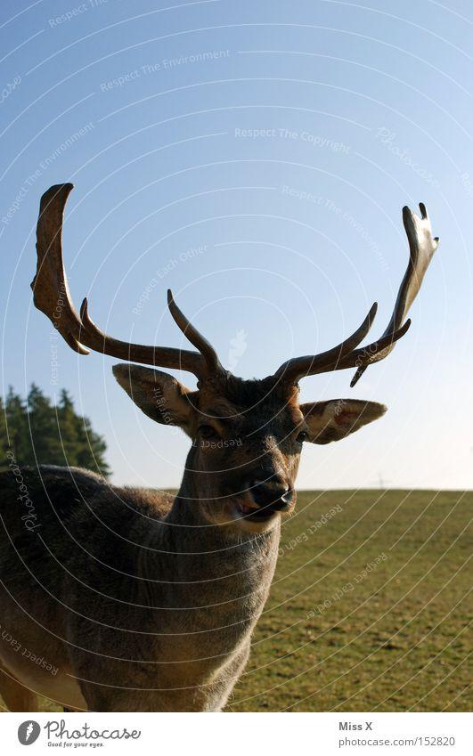 Das lachende Hirschragout ;-) Farbfoto Außenaufnahme Tier Wildtier ästhetisch außergewöhnlich kuschlig niedlich Kraft Willensstärke Hirsche Reh Horn Rentier