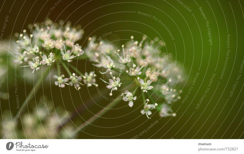 Oktoberblüte Natur weiß grün schön Pflanze Blume Farbe Herbst Blüte Vergänglichkeit Blühend zart herbstlich Oktober Waldrand