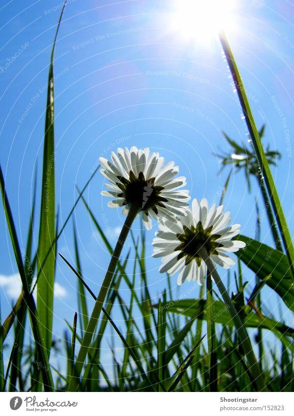 Flowerpower Gänseblümchen Blume 2 Sonne Wiese grün Blühend Gras weiß Himmel aufwärts Wachstum Beleuchtung paarweise