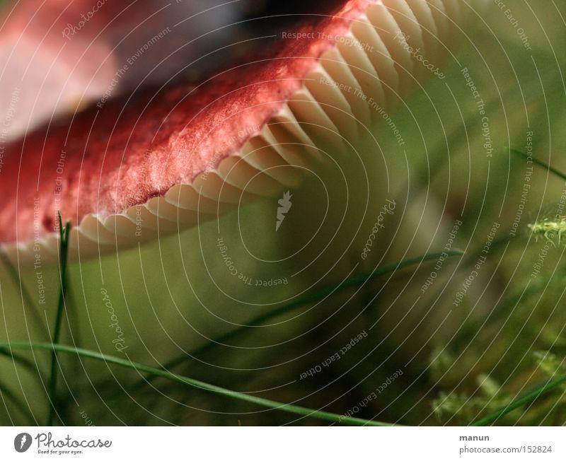 Rotschopf II weiß grün rot Sommer Herbst gefährlich feucht Pilz Gift herbstlich Lamelle Waldboden September