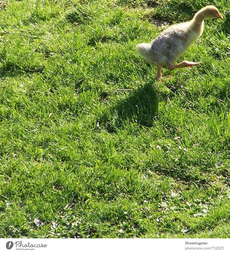 Auf die Gänse -fertig -los grün Wiese Vogel laufen Sportveranstaltung Gans watscheln weg hier