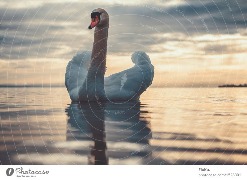 Das ist mein See Umwelt Natur Tier Urelemente Wasser Sonnenaufgang Sonnenuntergang Schönes Wetter Wellen Küste Seeufer Bodensee Wildtier Vogel Schwan 1