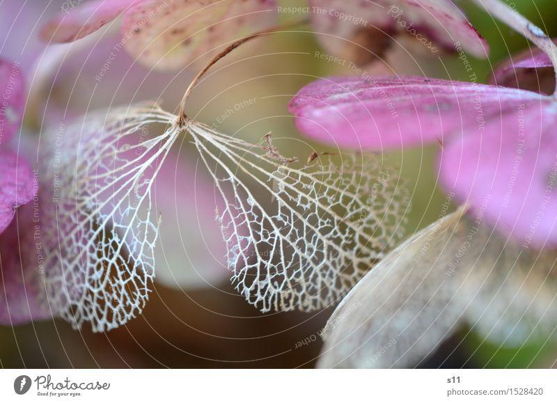 schön verblüht Natur Pflanze Blume Sträucher Blatt Blüte Hortensienblüte alt Blühend Duft hängen elegant natürlich braun violett Vergänglichkeit Blütenblatt
