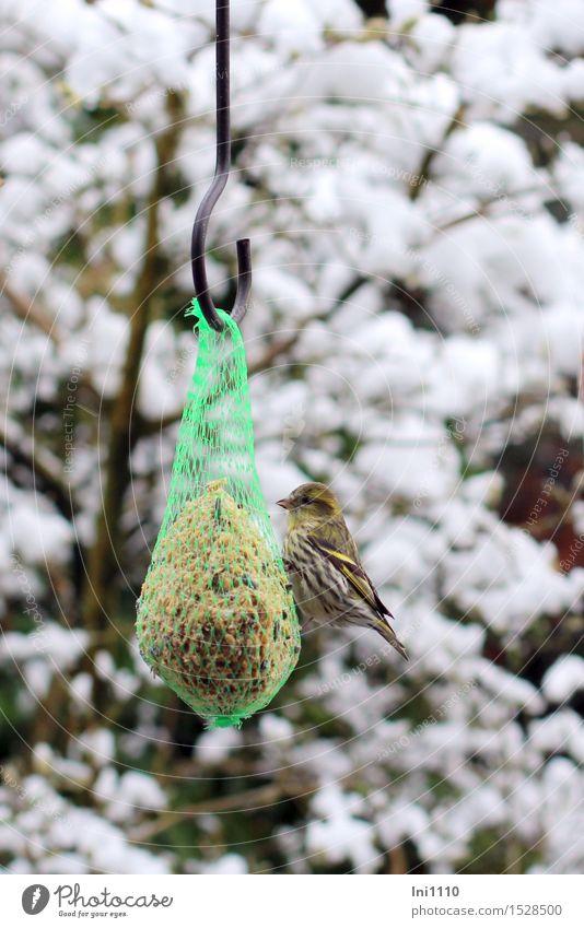 Zeisig am Futterplatz Natur schön grün weiß Baum Wolken Tier Winter schwarz gelb natürlich Schnee grau Garten braun Vogel