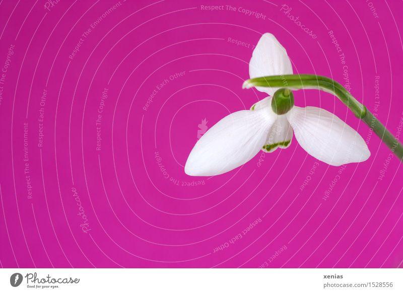 Schneeglöckchen über Pink pink Ostern Frühling Winter Blume Blüte Galanthus Amaryllisgewächse grün rosa weiß Postkarte Hintergrundbild Innenaufnahme