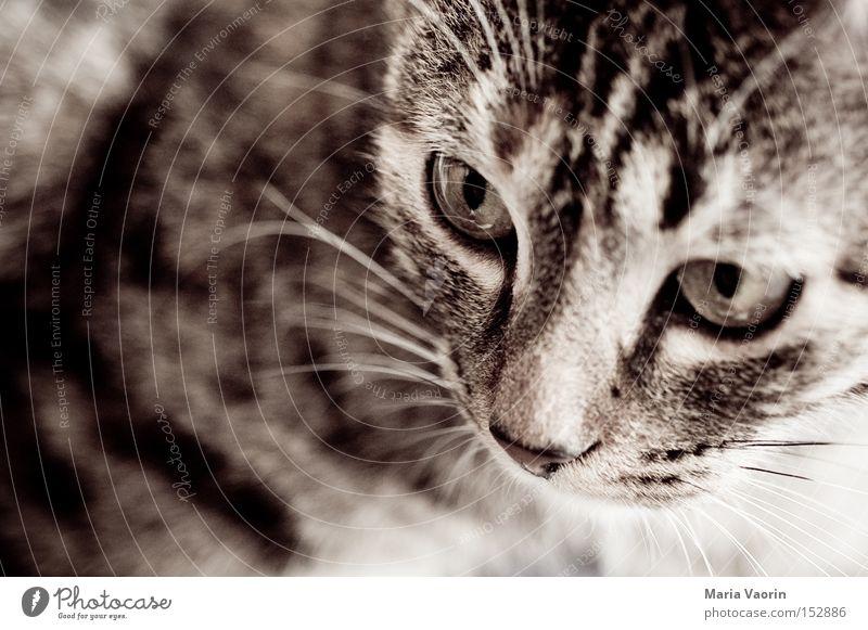 anvisiert Katze Haustier Nase Mund Schnauze Fell Hauskatze Schnurren Schnurrhaar Säugetier Konzentration gefährlich Miezekatze Schmusekater