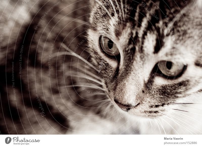 anvisiert Katze Mund Nase gefährlich Fell Konzentration Haustier Säugetier Schnauze Hauskatze Tier Schnurrhaar Schnurren