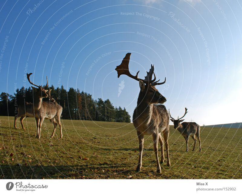 umme Ecke Farbfoto Außenaufnahme Winter Tier Wiese Wald Wildtier grün Hirsche Reh Rentier Horn Säugetier Rudi